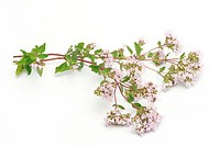 Oregano stem (Origanum vulgare) with flowers and leaves. This plant is widely used as a culinary herb, though it has along history of use in folk medi...