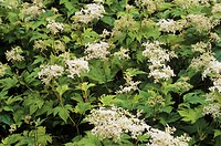 Meadowsweet flowers (Filipendula purpurea).