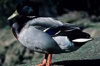 Mallard duck, close-up