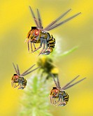 Robot insects. Computer artwork of MEM (microelectromechanical) robots based on the design of a bee. An organic bee can be seen in the background. Thi...