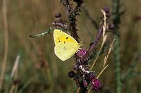 Clouded yellow butterfly (Colias crocus) perching on a plant.