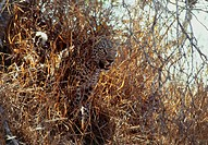 Leopard (Panthera pardus) watching its prey (not seen) from amongst long grass. This solitary carnivore hunts small prey such as antelope and hares. I...