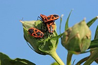 Fire Bug, Pyrrhocoris apterus, Germany, group feeding on bloom of hibiscus