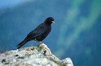 Alpine Chough, Pyrrhocorax pyrrhocorax, Berner Oberland, Switzerland, adult on rock