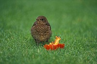 Blackbird, Turdus merula, Germany, young feeding on apple