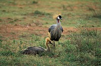Crowned Crane, Balearica regulorum, South Africa, adult with young bird subadult