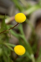 Golden buttons, Cotula coronopifolia, Germany, bloom