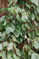 Pepper, Piper Nigrum, Nosy Be, Madagascar, fruit