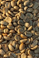 Arabian Coffee, Coffea Arabica, Germany, fruit Coffeebeans raw unroasted not roasted