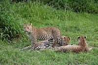Leopard, Panthera pardus, Sabie Sand Game Reserve, South Africa , Africa, adult female with subadults