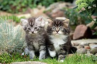 Maine Coon Housecat, Silvestris domestic spec, Germany, cubs