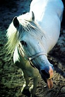 Horse sticking out its tongue (thumbnail)