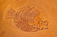 Fossil Fish (Dapedium punctatus) - Holzmaden - Germany - Jurassic