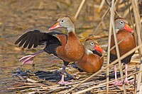 Black-bellied Whistling-Duck. (Dendrocygna autumnalis)