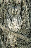 Scops Owl (Otus senegalensis); perfectly camouflaged when perching next to a tree trunk (Mopane, Colophospermum mopane). Etosha National Park, Namibia...