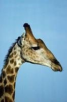 Southern Giraffe (Giraffa camelopardalis giraffa); bull. Kruger National Park, South Africa.