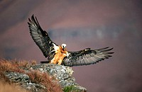 Bearded Vulture (Gypaetus barbatus). Drakensberg, South Africa