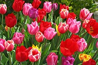Tulips (Tulipa hybr.)