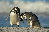 Magellanic penguin (Spheniscus magellanicus). Falkland Islands