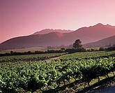Vineyards at sunrise in Aconcagua Valley, Chile