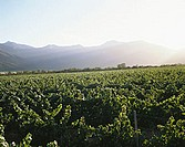 Vineyards in Valle de Rapel, Chile