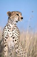 Cheetah (Acynonix jubatus). Masai Mara Natural Reserve. Kenya