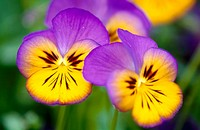 Pansy flower. Germany
