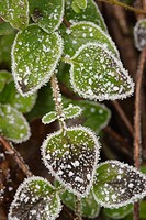 Frozen leaves of plant , UK
