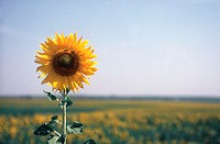 Sunflower (Helianthus) in field