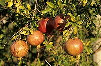 Pomegranates on the tree (outdoors)