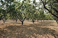 Almond plantation (outdoors)