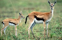 Thomson Gazelle (Gazella thomsonii) with newborn. Masai Mara, Kenya