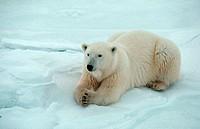 Polar Bear (Ursus maritimus). Cape Churchill, Hudson Bay, Manitoba, Canada.