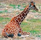 A reticulated giraffe (Giraffa camelopardalis reticulata) resting.