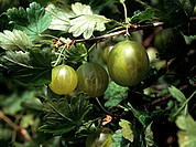 close up of gooseberries