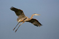 Great blue heron (Ardea herodias). Sanibel Island, Florida, USA