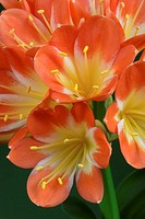 Clivia lily, close-up
