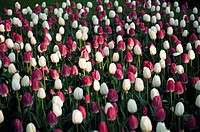 Commercially grown tulips, spring, morning