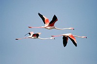 Flamingos flying in wetland, Sanlucar de Barrameda. Cádiz province. Andalucía. Spain