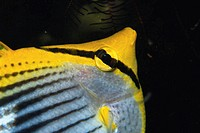 Butterflyfish (Chaetodontidae sp.) close-up