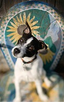 Jack Russell Terrier sitting on decorative chair tilting it´s head with one ear up.