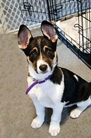 Puppy less than 3 months old, mixed breed possibly including Corgi, big ears standing up, purple fabric collar too big for it, sitting on rug with ope...