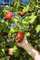 Hand picking apple from a tree