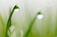 Dew drops on grass, close up.