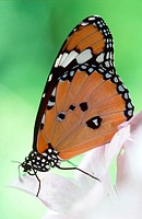 Plain Tiger Butterfly, (Danaus chrysippus). India, Asia