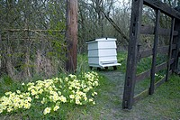 Primroses (Primula vulgaris) and beehive