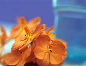 Orange orchid, close-up