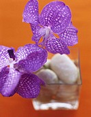 Comb patterned orchid, close-up