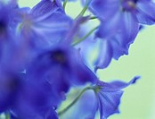 Larkspur, close-up