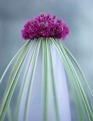 Onion flower (allium giganteum) and grass in vase, close-up